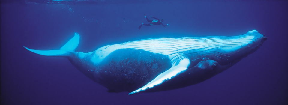 The most incredible diving photo we've ever seen - a humpback whale and a diver in Tahiti