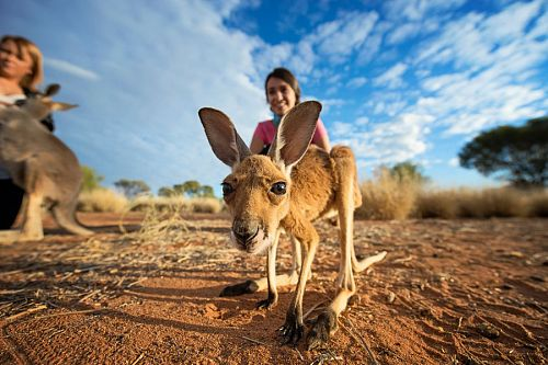 Baby kangaroo at the Kangaroo Sanctuary - Tourism Northern Territory - Travel Northern Territory