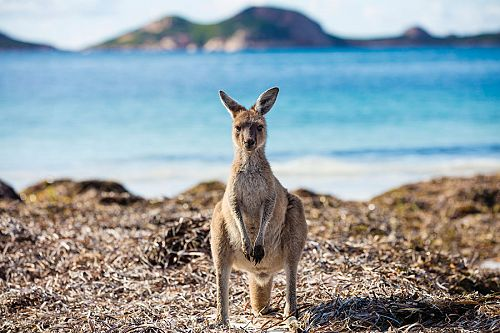 Kangaroo on the Beach, Lucky Bay