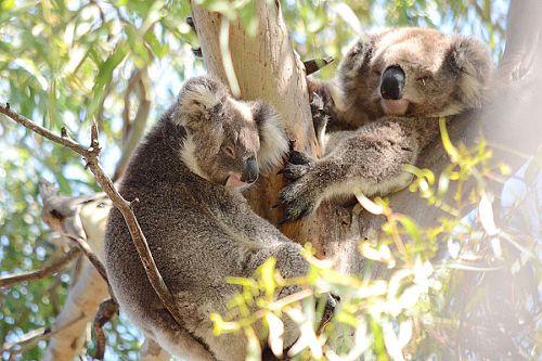 Wild Koala Day - 5 Myths About Koalas