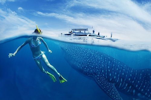 Swimming with the Whale Sharks in Western Australia