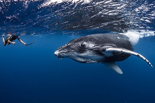 Where to Travel 2020 - Swimming with Humpback Whales in Moorea