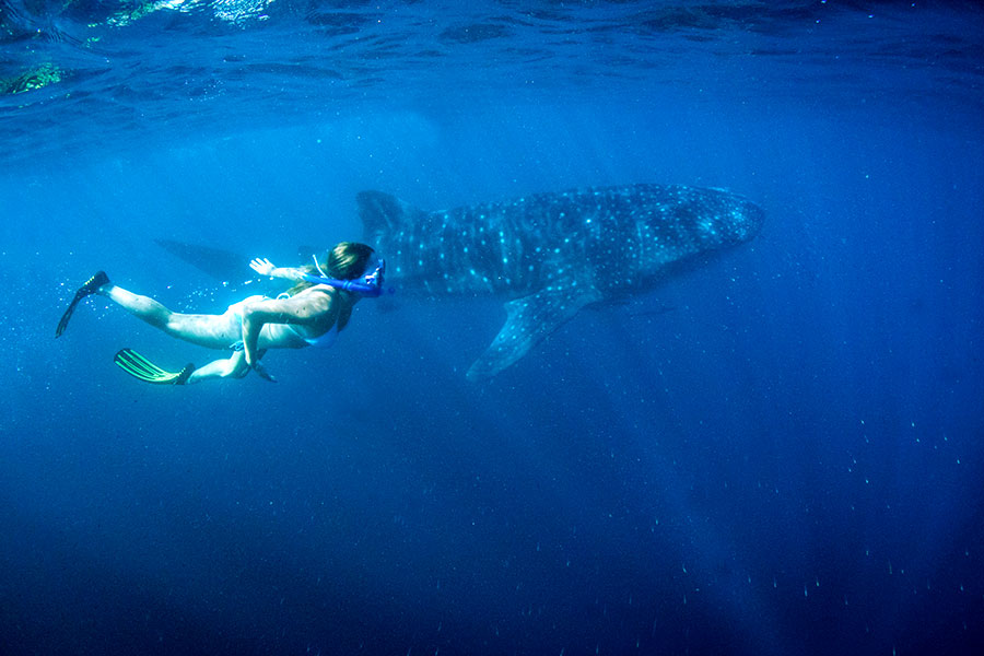 Australia Honeymoon Vacations - Swim with whale sharks in Ningaloo Reef!