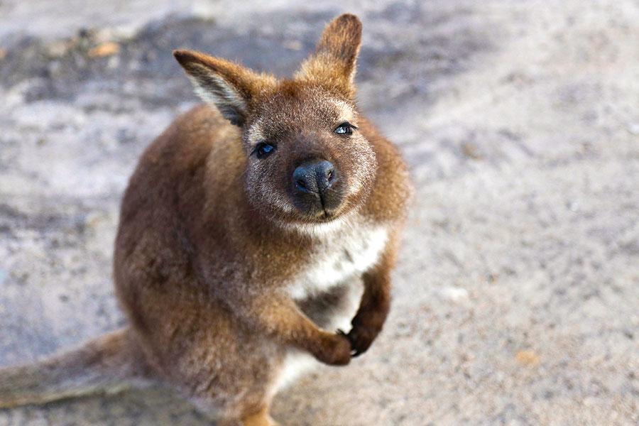 Australia Cook Islands Getaway - Australian Wildlife Tasmania Wallaby