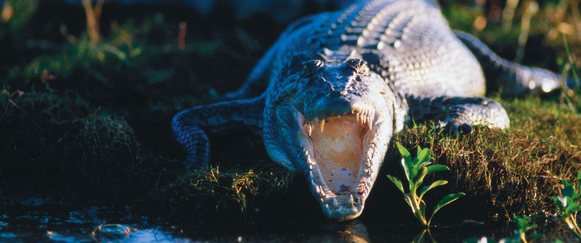 Crocodile in Australia's Outback