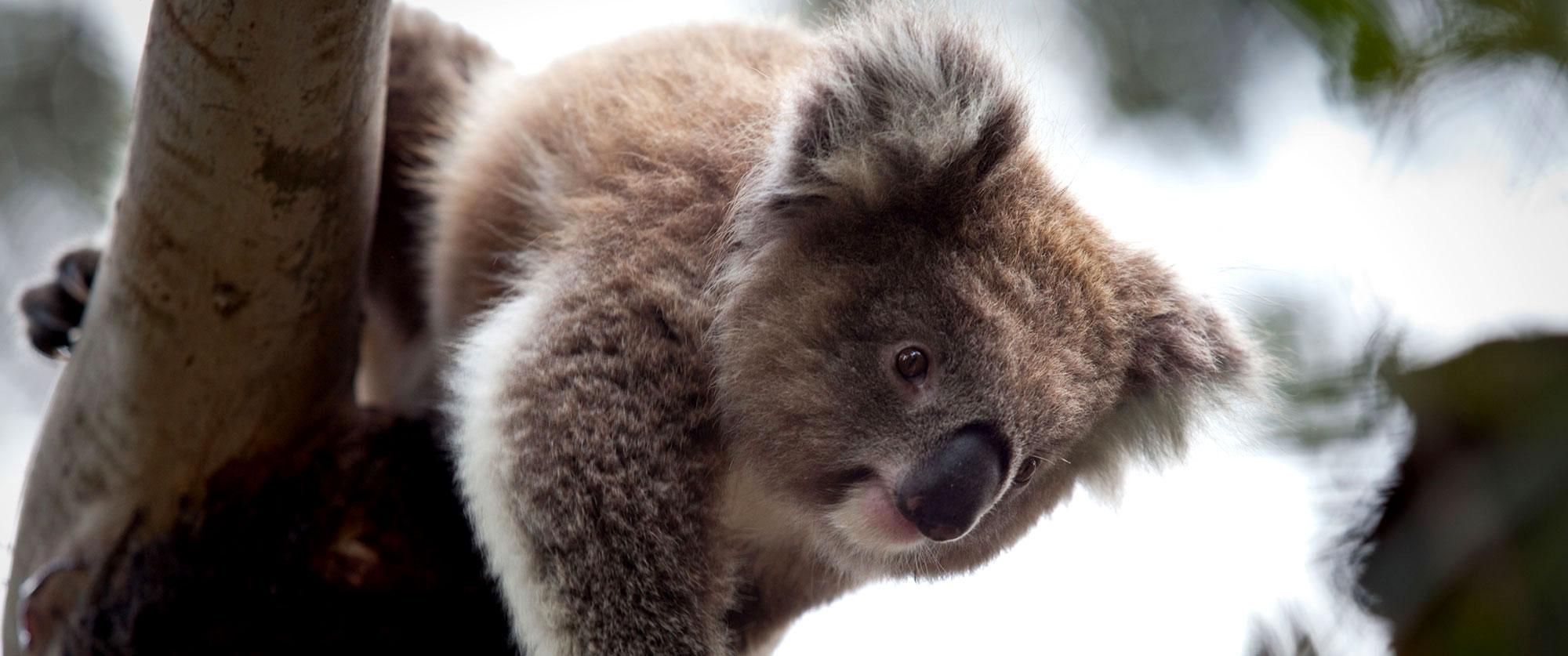 Australia Winter Getaway - Cuddle a Koala