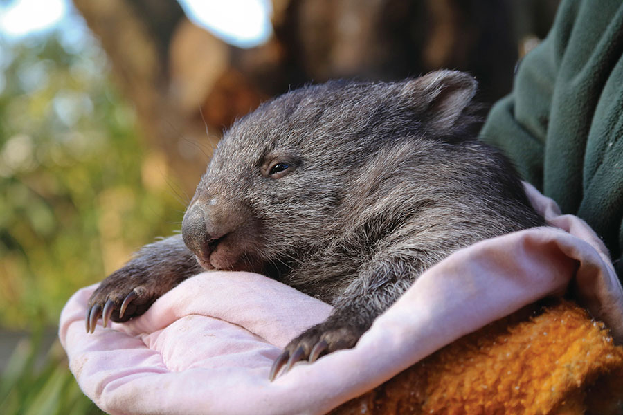Australia Wildlife Vacations - Bonorong Wildlife Sanctuary Tasmania