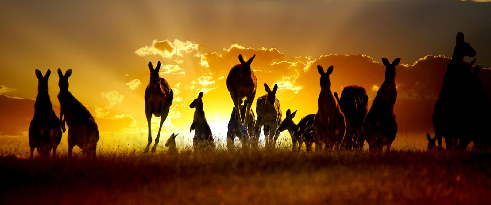 Kangaroos Hopping Through a Field at Sunset